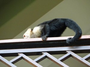 Capuchin caught in the act of breaking in