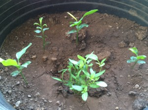 Lemon trees at 2.5 months plus a red pepper plant (in front)