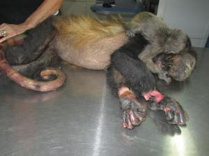Electrocuted Howler Monkey in Nosara 2 - Nosara Wildlife Rescue