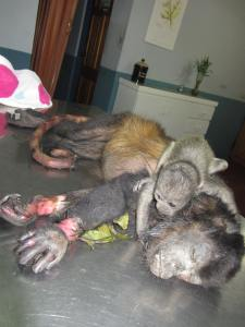 Electrocuted Howler Monkey in Nosara - Nosara Wildlife Rescue