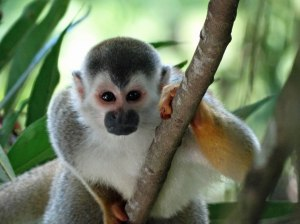 Costa Rica's Grey crowned Central American Squirrel Monkey
