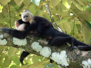 Capuchin white faced monkey and baby