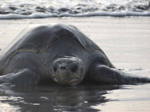 Olive ridley turtle in Ostional