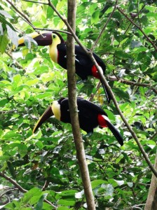 Black mandibled toucans in Costa Rica
