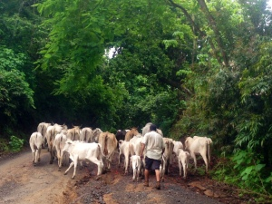 cows in the road in Costa Rica