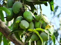 Green mangoes in Costa Rica