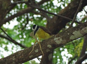 kiskadee eating a frog