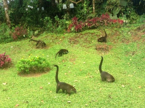 coatis in Costa Rica